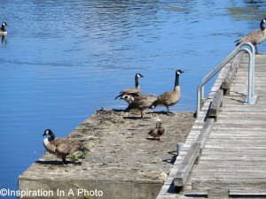Geese and duck at lake