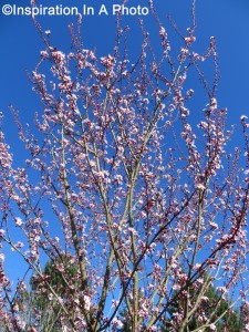 Cherry blossoms_blue sky