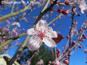Cherry blossoms_close up