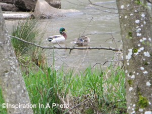Ducks at the river