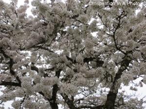 Creamy cherry blossom tree
