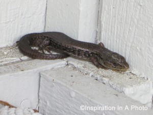 House lizard 2