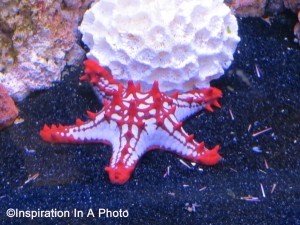 African starfish