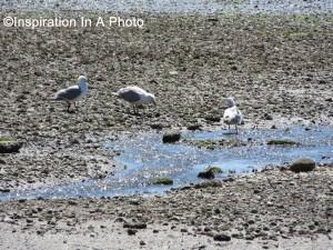 Frolicking sea gulls