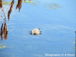 Geese dining at lake