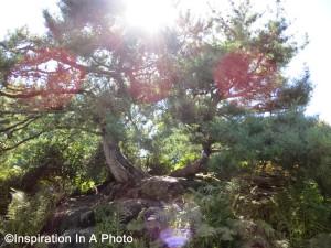 Split pine with sun