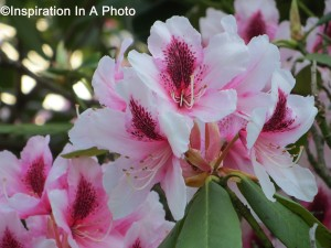 Evergreen Magnolia_pink
