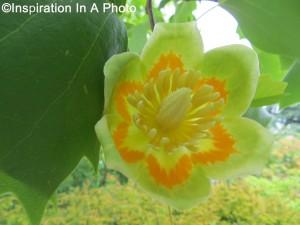 Flowering Poplar