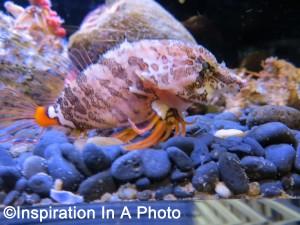 Grunt Sculpin_aquarium