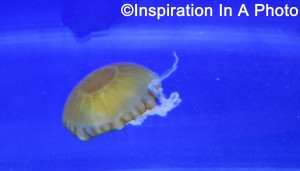 Sea Nettle jellyfish_aquarium