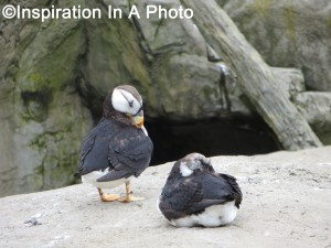 Puffin pair_aquarium