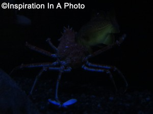 Japanese King Crab_aquarium