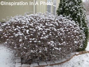 Snowy butterfly bush