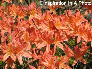 Orange flowers_bush