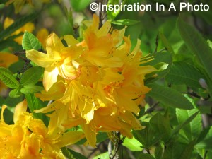 Yellow flowers_bush