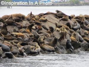 Sea lions on shoal